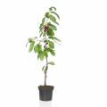 Mini-Tree-kersenboom-700×700